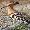 Hærfugl / Eurasian Hoopoe <br /> Gran Canaria, Spania  26.12.2014<br /> Canon 7D Mark II + Tamron 150 - 600 mm @ 483 mm