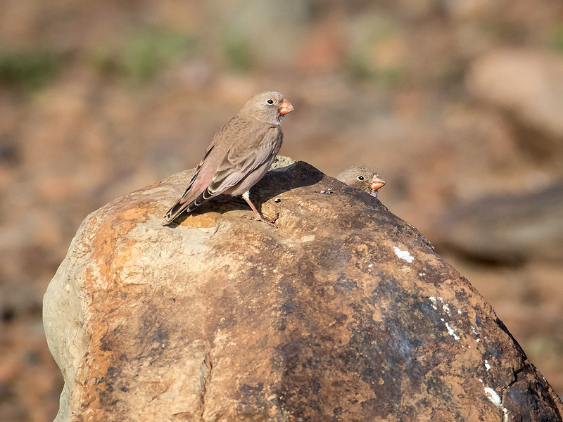 Trompeterfink / Trumpeter Finch<br /> Gran Canaria, Spania 28.12.2014<br /> Canon 7D Mark II + Tamron 150 - 600 mm 5,0 - 6,3