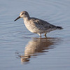 Polarsnipe / Red Knot<br /> Gran Canaria, Spania 28.12.2014<br /> Canon 7D Mark II + Tamron 150 - 600 mm 5,0 - 6,3