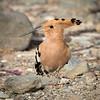 Hærfugl / Eurasian Hoopoe <br /> Gran Canaria, Spania  26.12.2014<br /> Canon 7D Mark II + Tamron 150 - 600 mm