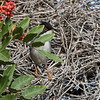 Svarthodesanger/ Sardinian Warbler<br /> Gran Canaria, Spania 31.12.2014<br /> Canon 7D Mark II + Tamron 150 - 600 mm 5,0 - 6,3 @  428 mm