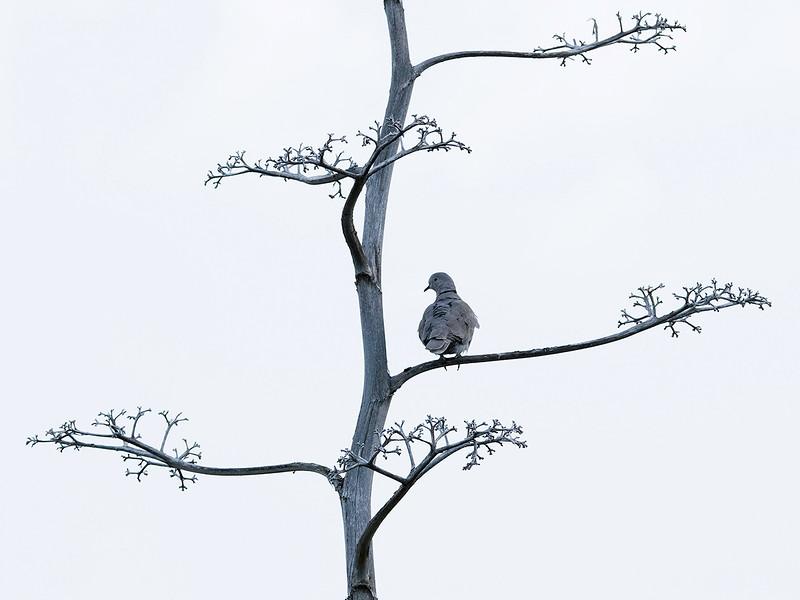 Tyrkerdue / Eurasian Collared-Dove <br /> Gran Canaria, Spania 31.12.2014<br /> Canon 7D Mark II + Tamron 150 - 600 mm @ 273 mm