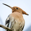 Hærfugl / Eurasian Hoopoe <br /> Gran Canaria, Spania 31.12.2014<br /> Canon 7D Mark II + Tamron 150 - 600 mm