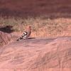 Hærfugl / Eurasian Hoopoe <br /> Eilat, Israel 2.3.2000<br /> Nikon Nikkormat FTn + Vivitar 400 mm 5,6