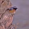 Asiarødstjert / Daurian Redstart <br /> Eilat, Israel 2.3.2000<br /> Nikon Nikkormat FTn + Vivitar 400 mm