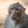 Sørlig grisehalemakak / Southern Pig-tailed Makak<br /> Angkor Wat, Siem Reap, Kambodja 15.4.20120<br /> Canon 5D Mark IV + EF 500 mm 4.0 + 1.4 x Extender