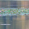 Damhegre / Pond Heron sp.<br /> Angkor Wat, Siem Reap, Kambodja 15.1.2020<br /> Canon 5D Mark IV + EF 500 mm 4.0 + 1.4 x Extender
