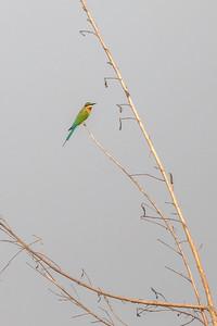 Blåhalebieter / Blue-tailed Bee-eater<br /> Tonle Sap, Kambodja 16.1.2020<br /> Canon  5D Mark IV + EF 500mm f/4L IS II USM + 1.4x Ext