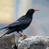 Alpekråke / Red-billed Chough<br /> La Palma, Spania 29.12.2017<br /> Canon 7D Mark II + Tamron 150 - 600 mm 5,0  - 6,3 G2