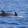 Tumler / Bottlenosed Dolphin<br /> Madeira, Portugal 2.7.2018<br /> Canon 5D Mark IV +  EF 100-400mm f/4.5-5.6L IS II USM + 1.4x Ext III