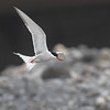 Makrellterne / Common Tern<br /> Madeira, Portugal 1.7.2018<br /> Canon 5D Mark IV + EF 100-400mm f/4.5-5.6L IS II USM + 1.4x Ext