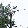 Kråke / Hooded Crow<br /> Søm, Agder 14.7.2020<br /> Canon 5D Mark IV + EF 500mm f/4L IS II USM + 1.4x Ext III