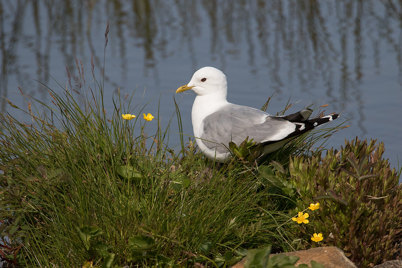 Fiskemåke / Mew Gull<br /> Nykvåg, Vesterålen 13.7.2015<br /> Canon 7D Mark II + Tamron 150 - 600 mm 5,0 - 6,3