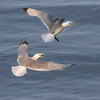 Krykkje / Black-legged Kittiwake<br /> Å, Lofoten 11.7.2015<br /> Canon 7D Mark II + Tamron 150 - 600 mm 5,0 - 6,3 @ 273 mm