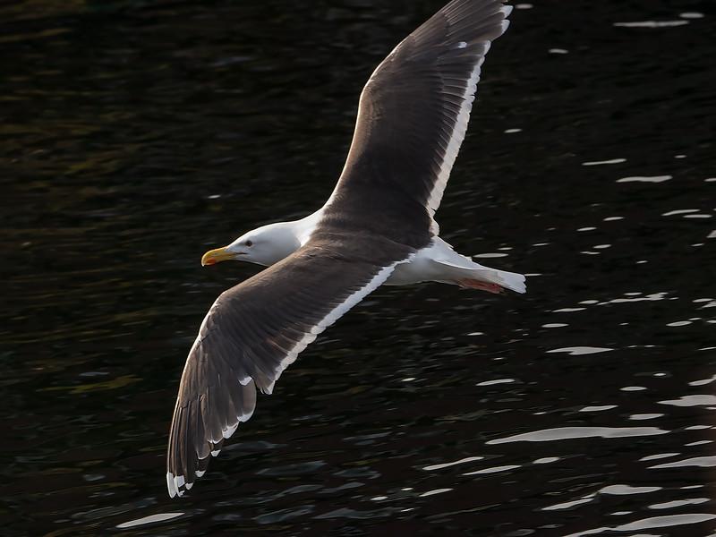 Svartbak / Great Black-backed Gull<br /> Å, Lofoten 11.7.2015<br /> Canon 7D Mark II + Tamron 150 - 600 mm 5,0 - 6,3 @ 309 mm