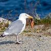 Gråmåke / Herring Gull<br /> Andenes, Andøya 14.7.2015<br /> Canon 7D Mark II + Tamron 150 - 600 mm 5,0 - 6,3 @ 309 mm
