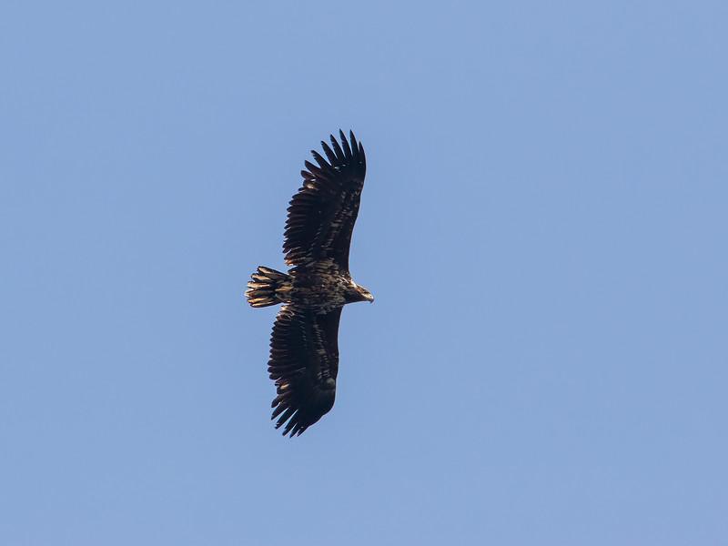 Havørn / White-tailed Eagle <br /> Nykvåg, Vesterålen 13.7.2015<br /> Canon 7D Mark II + Tamron 150 - 600 mm 5,0 - 6,3