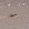 Spøkelseskrabbe / Ghost crab<br /> Raz al Hadd, Oman 25.11.2010<br /> Canon EOS 50D + EF 400 mm 5,6 L