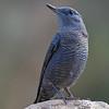 Blåtrost / Blue Rock Trush <br /> Tiwi, Oman 24.11.2010<br /> Canon EOS 50D + EF 400 mm 5.6 L