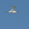 Splitterne / Sandwich Tern<br /> Ras Al Hadd, Oman 25.11.2010<br /> Canon EOS 50D + EF 400 mm 5.6 L