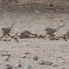 Araberskriketrost / Arabian Babbler <br /> Khatmat Milahah, Oman<br /> Canon EOS 50D + EF 400 mm 5.6 L