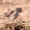 Ørkensanger / Asian Desert Warbler<br /> Al Beed Farm, Oman 29.11.2010<br /> Canon EOS 50D + EF 400 mm 5,6