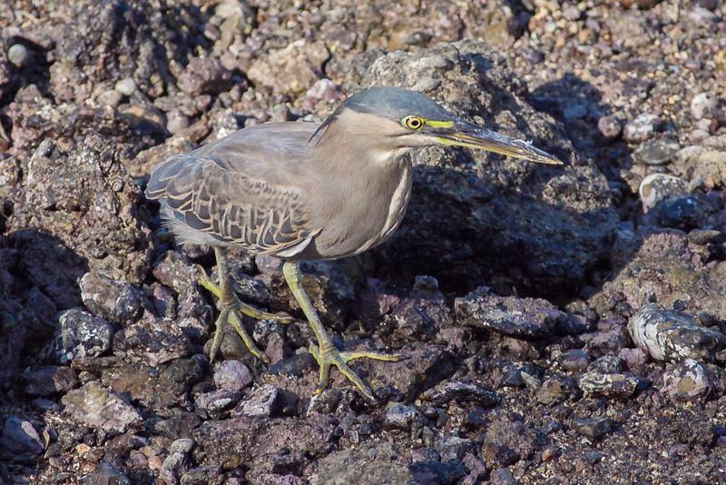 Krabbehegre / Striated Heron<br /> Muscat, Oman 21.11.2010<br /> Canon EOS 50D + EF 400 mm 5.6 L