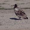 Åtselgribb / Egyptian Vulture <br /> Masirah, Oman 27.11.2010<br /> Canon EOS 50D + EF 400 mm 5.6 L