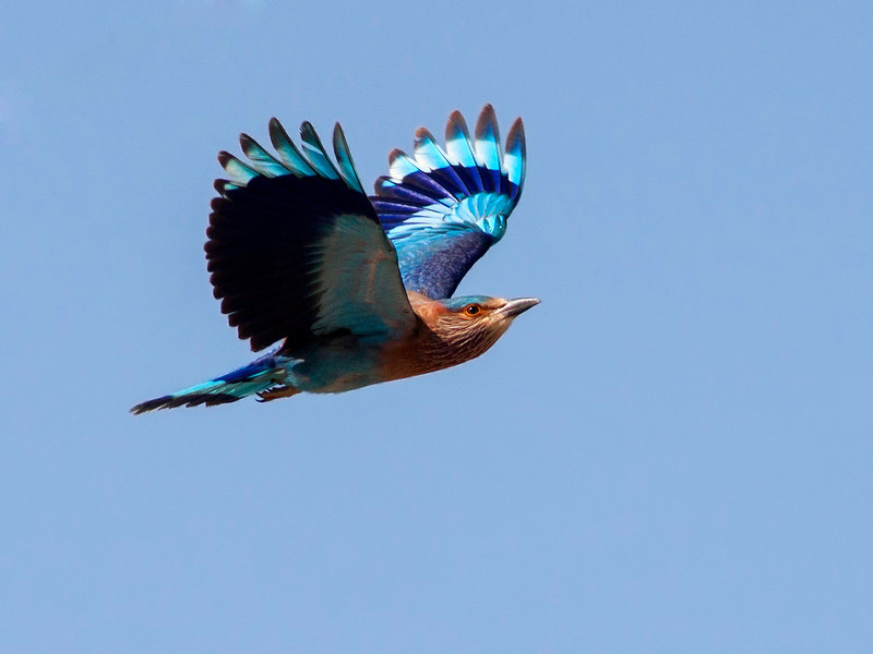 Bengalråke / Indian Roller <br /> Ras As Sawadi, Oman 22.11.2010<br /> Canon EOS 50D + EF 400 mm 5.6 L