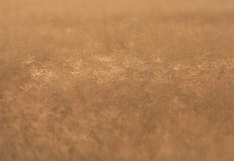 Grass<br /> Sohar, Oman 22.11.2010<br /> Canon EOS 50 D + EF 400 mm 5,6 L