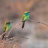 Beryllbieter / Green Bee-eater <br /> Sohar, Oman 22.11.2010<br /> Canon EOS 50D + EF 400 mm 5.6 L