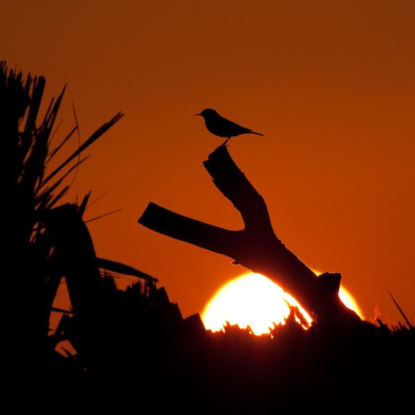 Fugl i solnedgang / Bird in sunset<br /> Barr Al Hikman, Oman 27.11.2010<br /> Canon EOS 50D + EF 400 mm 5,6 L