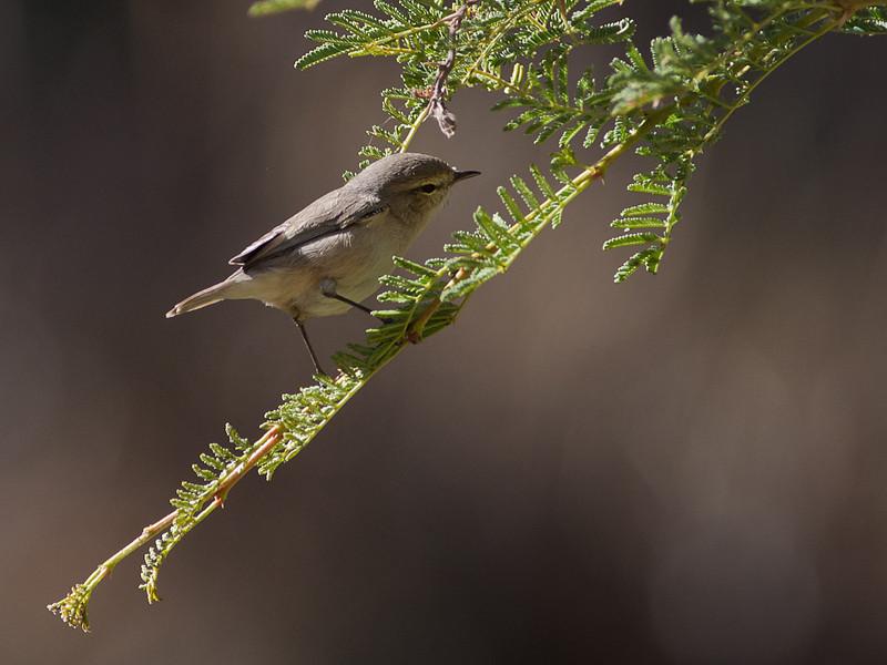 Persersanger / Plain Leaf Warbler <br /> Sayq plateau, Oman 26.11.2010<br /> Canon EOS 50D + EF 400 mm 5.6 L