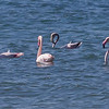 Flamingo / Greater Flamingo <br /> Masirah, Oman 27.11.2010<br /> Canon EOS 50D + EF 400 mm 5,6 L
