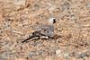 Maskedue / Namaqua Dove <br /> Sohar, Oman 22.11.2010<br /> Canon EOS 50D + EF 400 mm 5.6 L
