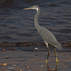 Strandhegre / Western Reef Heron<br /> Qurayyat, Oman 24.11.2010<br /> Canon EOS 50D + EF 400 mm 5.6 L