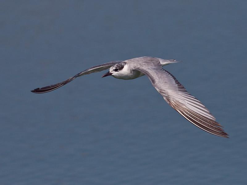 Hvitkinnsvartterne / Whiskered Tern<br /> Masirah, Oman 27.11.2010<br /> Canon EOS 50D + EF 400 mm 5.6 L