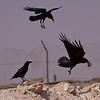 Brunnakkeravn / Brown-necked Raven <br /> Al Beed Farm, Oman 29.11.2010<br /> Canon EOS 50D + EF 400 mm 5.6 L