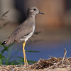 Sumpvipe / White-tailed Lapwing <br /> Sohar, Oman 22.11.2010<br /> Canon EOS 50D + EF 400 mm 5.6 L