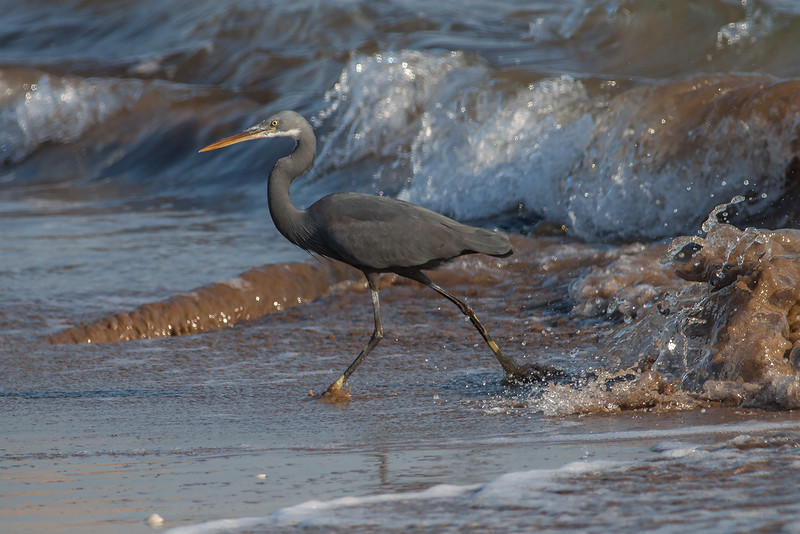Strandhegre / Western Reef Heron<br /> Ras As Sawadi, Oman 22.11.2010<br /> Canon EOS 50D + EF 400 mm 5.6 L