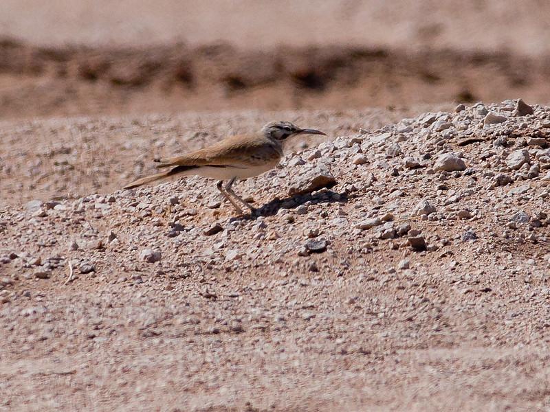 Langnebblerke / Greater Hoopoe-lark <br /> Al Beed Farm, Oman 29.11.2010<br /> Canon EOS 50D + EF 400 mm 5.6 L