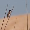 Hvitørebylbyl / White-eared Bulbul <br /> Muscat, Oman 21.11.2010<br /> Canon EOS 50D + EF 400 mm 5.6 L