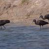Bronseibis / Glossy Ibis<br /> Khawr Taqah, Oman 30.11.2010<br /> Canon EOS 50D + EF 400 mm 5.6 L