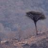Tre /Tree<br /> Ayn Hamran, Oman 30.11.2010<br /> Canon EOS 50D + EF 400 mm 5,6 L