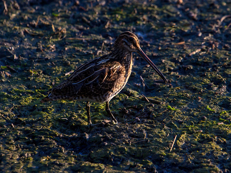 Enkeltbekkasin / Common Snipe<br /> Getterön, Sverige 20.7.2013<br /> Canon EOS 5D Mark II + EF 100-400 mm 4,5-5,6 L