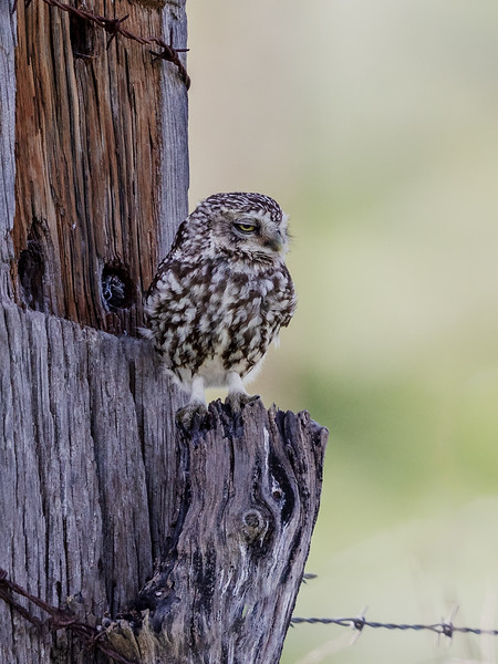 Kirkeugle / Little Owl<br /> Barbate, Spania 21.3.2019<br /> Canon  5D Mark IV + EF 500mm f/4L IS II USM + 1.4x Extender