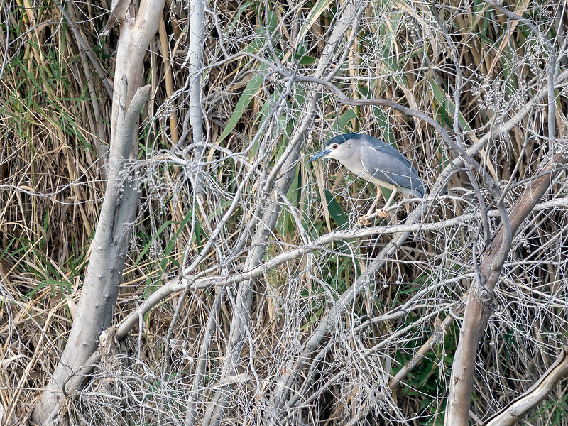 Natthegre / Night Heron