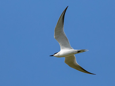 Sandterne / Gull-billed Tern
