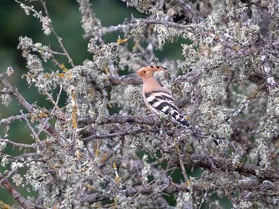 Hærfugl / Hoopoe