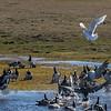 Polarmåke jakter gåsunger